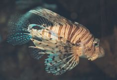 Duivel firefish stock afbeeldingen