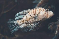 Duivel firefish royalty-vrije stock foto