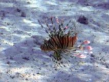 Duivel firefish (mijlen Pteriois) royalty-vrije stock afbeeldingen