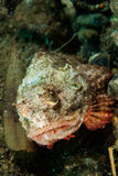 Duivelsscorpionfish in Ambon, Maluku, de onderwaterfoto van Indonesië Stock Foto