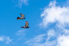 duiven Stock Foto