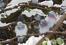 Duiven in de winter Royalty-vrije Stock Afbeeldingen
