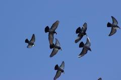 Duiven die in de hemel vliegen Stock Fotografie