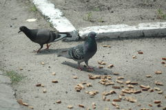 Duiven die in de straat eten Stock Foto's