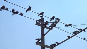 Duiven die en Elektrische Draden bevinden zich vliegen stock videobeelden