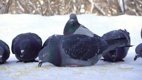 Duiven die korrel in sneeuw eten media Close-up van duiven die voorzichtig korrel in sneeuw in park pikken Duiven die eten stock video
