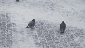 Duiven die onhandig op snow-covered oppervlakten lopen stock videobeelden
