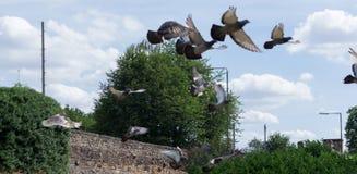 Duiven die uit Nadruk wegvliegen Stock Foto's