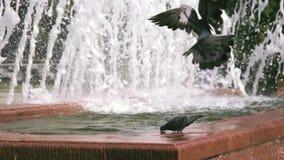Duiven drinkwater van een fontein stock footage