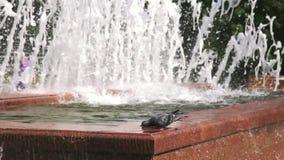 Duiven drinkwater van een fontein stock video