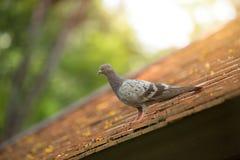Duiven en van de duivenvogel het roosting op het dak stock foto