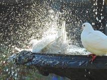 Duiven in fontein die vogelbad hebben royalty-vrije stock afbeelding