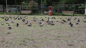 Duiven in het park stock video