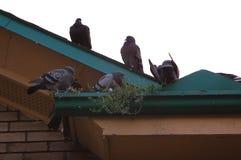 Duiven op dak stock afbeelding