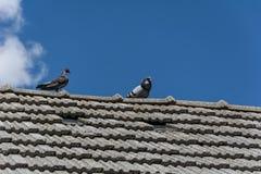 Duiven op het dak Stock Foto