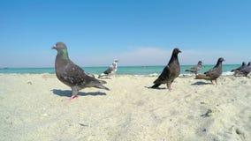 Duiven op Sandy Beach stock videobeelden