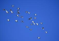 Duiven, troep van, het vliegen Royalty-vrije Stock Afbeeldingen