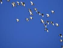 Duiven, troep van, het vliegen Royalty-vrije Stock Fotografie