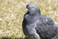 Duiven van de rots de wilde duif Royalty-vrije Stock Foto's