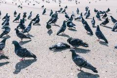 Duivengang rond een dode vogel Een troep van duiven op de straat Dode duif op asfalt stock foto