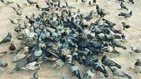 Duivenvogel die en in het midden van het scherm in 4K ultrahd zwermen vechten stock video