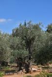 Duizend-jaar olijf stock fotografie