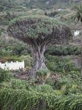 Duizend-jaar-oude draakboom Stock Foto's