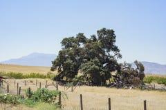 Duizend jaar oude Eiken Boom van Lavendelfestival van Landbouwbedrijf 123 Royalty-vrije Stock Afbeeldingen