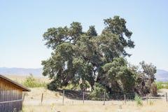 Duizend jaar oude Eiken Boom van Lavendelfestival van Landbouwbedrijf 123 Royalty-vrije Stock Foto