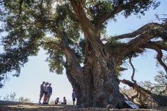 Duizend jaar oude Eiken Boom van Lavendelfestival van Landbouwbedrijf 123 Royalty-vrije Stock Foto's
