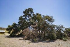 Duizend jaar oude Eiken Boom van Lavendelfestival van Landbouwbedrijf 123 Stock Foto