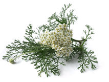 Duizendblad (Achillea Millefolium) Stock Foto's