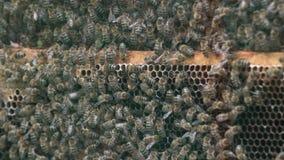 Duizenden bijen op honingraten met honing Bijen die nectar verzamelen en in hexagonale cellen na het terugkeren naar bijenkorf ze stock videobeelden