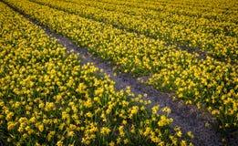 Duizenden die miniatuurgele narcissen op de gebieden van Nederland groeien Royalty-vrije Stock Afbeeldingen