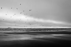 Duizenden migrerende ganzen in Kalaloch-Strand Stock Afbeeldingen