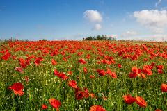 duizenden rode papavers die zich op een weide bevinden, de zon glanzen en er zijn witte wolken in de blauwe hemel royalty-vrije stock afbeeldingen