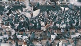 Duizenden van Duivenmenigte op Stoep die Brood eten stock footage
