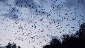 Duizenden vogels die over het bos vliegen stock videobeelden