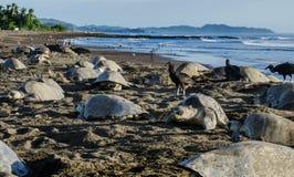 Duizenden zeeschildpadden leggen in de loop van de dag eieren - Arribada in Ostional Stock Afbeelding