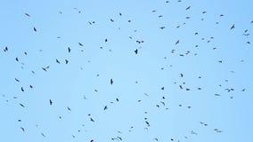 Duizenden zwarte vogels die in de hemel omcirkelen stock videobeelden