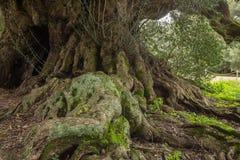 Duizendjarige olijfboom Stock Fotografie