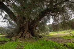 Duizendjarige olijfboom Stock Afbeeldingen