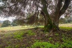 Duizendjarige olijfboom Stock Foto's