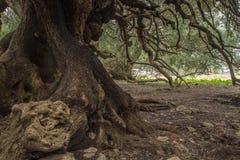 Duizendjarige olijfboom Royalty-vrije Stock Fotografie