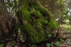 Duizendjarige olijfboom Stock Afbeelding