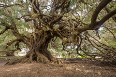 Duizendjarige olijfboom Royalty-vrije Stock Foto