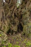 Duizendjarige olijfboom Royalty-vrije Stock Foto's