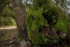Duizendjarige olijfboom Royalty-vrije Stock Afbeeldingen