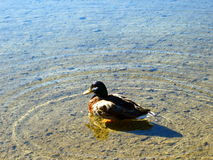 Duk im blauen See Stockfotos