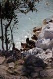 Dukcs door het water stock foto